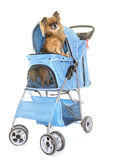 Pushchair for chihuahua. In front of white background Stock Image