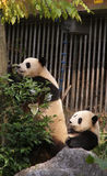 Pushing Giant Panda in the tree in Guilin Royalty Free Stock Photo