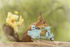 Pushing the moped. Red squirrel standing with moped with yellow orchids Stock Photography
