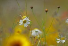 Pushing up the daisies Royalty Free Stock Images