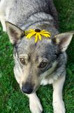 Pushing up daisys. A young Swedish Vallhund dog wears a black-eyed susan on her head while lying in the green grass of summertime Stock Photos