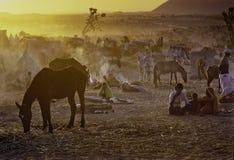 PUSHKAR, ИНДИЯ - 17-ОЕ НОЯБРЯ: Верблюды на ежегодном fai поголовья стоковые изображения rf
