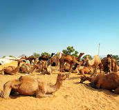 Camels during festival in Pushkar Royalty Free Stock Photo