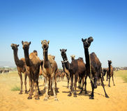 Camels during festival in Pushkar Stock Photography
