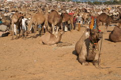 Pushkar Camel Festival Stock Images