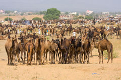 Pushkar Camel Mela (Pushkar Camel Fair) Royalty Free Stock Photography
