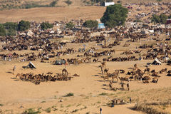 Pushkar Camel Mela ( Pushkar Camel Fair ) Royalty Free Stock Images