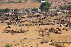 Pushkar Camel Mela ( Pushkar Camel Fair ) Royalty Free Stock Photos