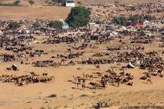 Pushkar Camel Mela ( Pushkar Camel Fair ) Stock Image