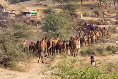 Pushkar Fair ( Pushkar Camel Mela ) Rajasthan, India Royalty Free Stock Photo