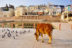 pushkar india Arkivbilder