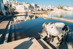 Cow drinking sacred water at Pushkar lake holy ghat in Pushkar, India stock image