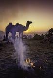 PUSHKAR, INDIA - NOVEMBER 17: Kamelen bij jaarlijkse veefai Stock Afbeeldingen