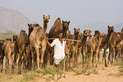 PUSHKAR, INDIA - NOVEMBER 20: Pushkar Camel Mela (Pushkar Camel Fair) on November 20, 2012 in Pushkar, Rajasthan, India. This fair Stock Images