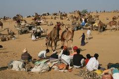 Pushkar Kamel angemessen Stockfoto