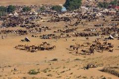 Pushkar-Kamel Mela (Pushkar-Kamel angemessen) Rajasthan, Indien Stockbilder