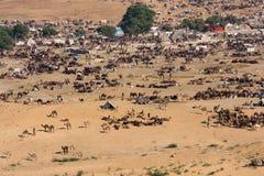 Pushkar-Kamel Mela (Pushkar-Kamel angemessen) Rajasthan, Indien Lizenzfreie Stockbilder