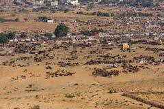 Pushkar-Kamel Mela (Pushkar-Kamel angemessen) Rajasthan, Indien Stockfoto