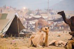 Pushkar kamelmässa, Rajasthan, Indien Royaltyfria Foton