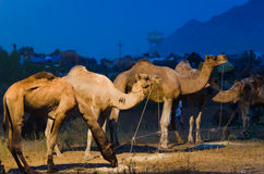 Pushkar kamelmässa, Rajasthan, Indien Arkivbilder