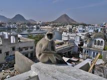 PUSHKAR VIEW LAKE HOUSES MONTAINS MONKEY INDIA RAJASTAN. Grey monkey and indian holy lake in pushkar rajastan india as background Royalty Free Stock Images