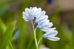 Pushkinia, white and blue spring flower. Close-up. stock image