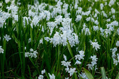 Pushkinia scilloides, or squill Royalty Free Stock Image