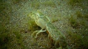 Pusilla d'Upogebia de falaise de mer banque de vidéos