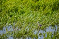 Pusilla del Calidris de las lavanderas de Semipalmated en Marsh Grass Imagenes de archivo