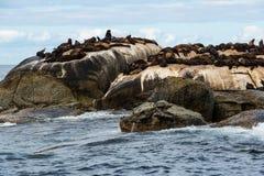 Pusillus Arctocephalus σφραγίδων γουνών ακρωτηρίων στο νησί σφραγίδων, Νότια Αφρική Στοκ Φωτογραφία