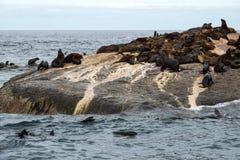 Pusillus Arctocephalus σφραγίδων γουνών στο νησί Duiker, κόλπος Hout, Νότια Αφρική Στοκ Φωτογραφίες