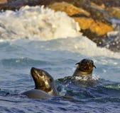 Pusillus del Arctocephalus de los lobos marinos del cabo Foto de archivo