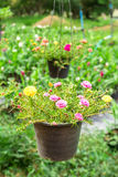 Pusley flowers Royalty Free Stock Photo