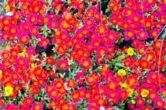 Pusley kwiaty Fotografia Stock