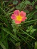 Pusley pigweed little hogweed verdolaga. Pusley in my graden Stock Photos