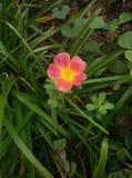 Pusley pigweed little hogweed verdolaga. Pusley in my graden Royalty Free Stock Photo