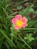 Pusley pigweed little hogweed verdolaga. Pusley in my graden Stock Image