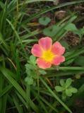 Pusley pigweed little hogweed verdolaga. Pusley in my graden Stock Photo