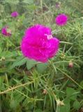 Pusley pigweed little hogweed verdolaga. Pusley in my graden Royalty Free Stock Image