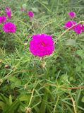 Pusley pigweed weinig hogweed verdolaga Royalty-vrije Stock Afbeeldingen