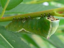Puss moth caterpillar on williw - Cerura vinula. A Puss moth caterpillar on a willow Stock Photography