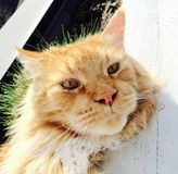 Puss spring maine coon gorgeous ginger  Stock Image
