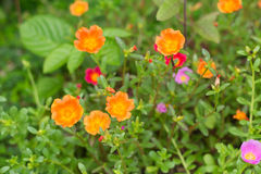 Pussley Flower or Moss Rose Stock Images