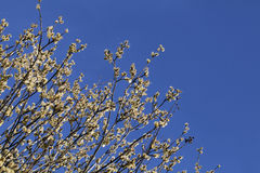 Pussy-верба весной Стоковое фото RF