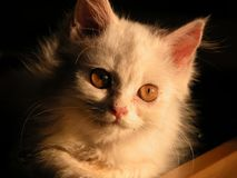 Pussy Cat. A himalayan cat giving a stare Stock Images