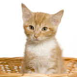 Pussy cat Stock Images