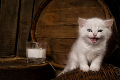 Cat with milk. White hungry cat with milk on wooden background Royalty Free Stock Images