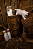 Cat with milk. White Persian cat with milk on wooden background Royalty Free Stock Image