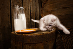 Cat with milk. White Persian cat with milk on wooden background Royalty Free Stock Photos