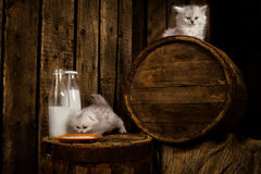 Pussy cat with milk. White Persian pussy cat with milk on wooden  background Royalty Free Stock Image